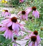 Here is an Echinacea plant thriving in a beautiful organic gardening landscape.