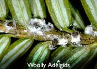This woolly adelgid shown here is a parasite. It sucks a plant's sap for nutrition, which can eventually kill the host.