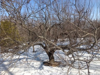 Old Apple Tree Not Pruned Years Water Sprouts