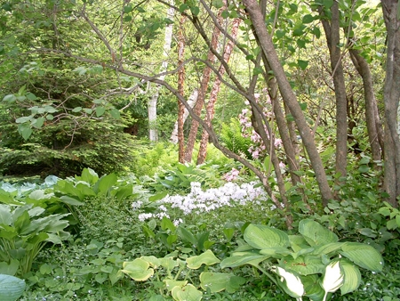 Organic shade garden with woodland wildflowers and trees.