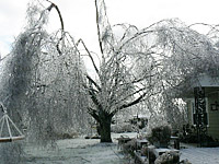 Birch Tree Ice Prune Damage Arborist