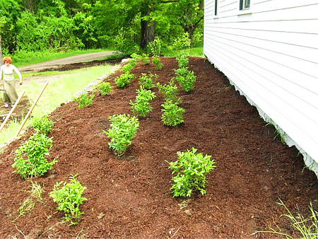 Low bush blueberries are planted as a ground cover.