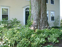 Pictured here is a sugar maple tree being treated for a forest tent caterpillar infestation by Hilltown Tree & Garden.