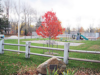 Donated Red Maples Installed for Local Park - Chesterfield, Ma