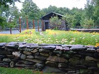 Native wildflower meadow, and stone wall. Worthington, MA.