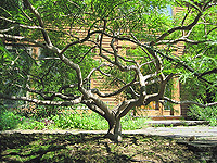 Weeping Japanese Maple Pruned Branches