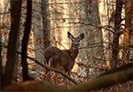 doe in woods forest wildlife